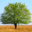 Green tree in field — Stock Photo