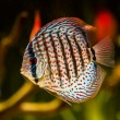 Symphysodon discus - Stock Photo