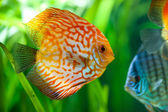 Symphysodon discus — Stock Photo