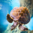 Eretmochelys imbricata - Stock Photo