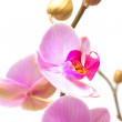 Stock Photo: Photo beautiful orchid on white background