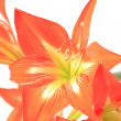 Stock Photo: Photo beautiful red lily on white background