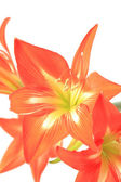 Photo beautiful red lily on white background — Stock Photo