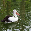 Big black-and-white pelican floats on water — Stock Photo