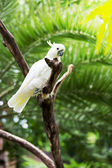 White parrot of a cockatoo sits on a branch — Stock Photo