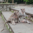 Monkeys beggars elicit delicacies, Bali, Indonesia — Stock Photo #10284583