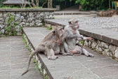 Monkeys beggars elicit delicacies, Bali, Indonesia — Stock Photo