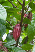 Cocoa tree with pods — Stock Photo