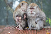 Family of wild monkeys — Stock Photo