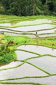 Terrace rice fields, — Stock Photo