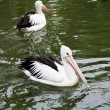 Big black-and-white pelican — Stock Photo