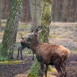 Red deer (maral) in the wild nature - Stock Photo