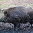 Wild boar (Sus scrofa) — Stock Photo #9034542