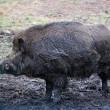 Wild boar (Sus scrofa) — Stock Photo
