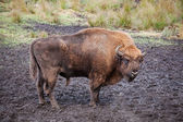 Bison (Bison bonasus) — Stock Photo