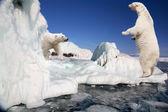 Polar bear standing on the ice block — Stock Photo