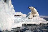 πολική αρκούδα στέκεται πάνω από το μπλοκ του πάγου — Φωτογραφία Αρχείου