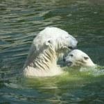 urso polar — Foto Stock