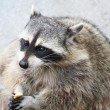 Amusing raccoon with a piece of bread in paws — Photo