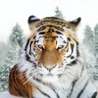 Portrait of the Amur tiger on a background of a snow taiga - Stock Photo
