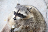 Amusing raccoon with a piece of bread in paws — Stock Photo