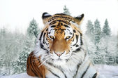 Portrait of the Amur tiger on a background of a snow taiga — Stock Photo