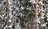 Snow-covered birch and pine — Stock Photo