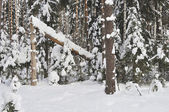 Broken tree in winter forest — Stock Photo