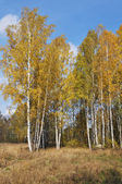 Autumn birch wood — Stock fotografie