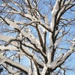 Stock Photo: Bare oak tree under snow