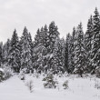 Snow-covered fir in winter forest — Foto de Stock