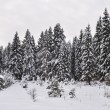 Snow-covered fir in winter forest — Stock Photo