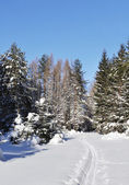 Ski track in winter forest — Stock Photo