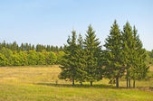 Firs in the meadow — Stock Photo