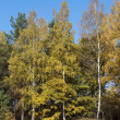 Yellow birches on the hill — Stock Photo