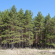 Pine trees in a forest glade — Stock Photo