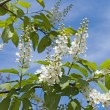 Branch of blossoming bird cherry — Stock Photo