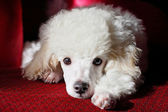 Cute poodle relaxing — Stock Photo