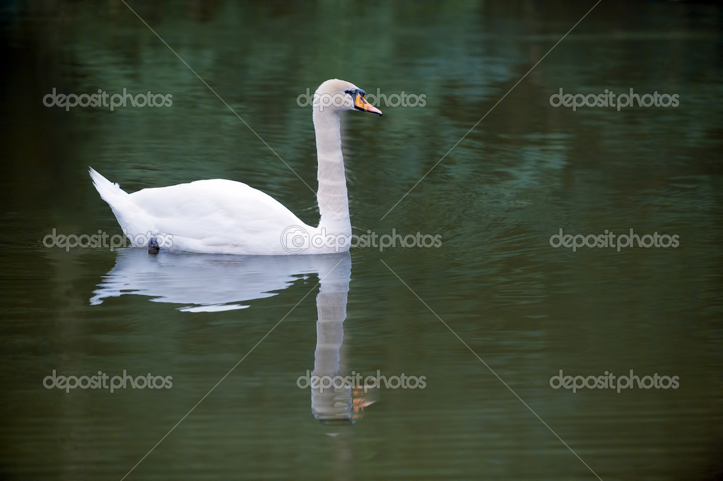 Portrait of a beautiful white swan floating on a mirror surface of the lake — Stock Photo #8134159