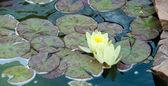 Yellow Lotus — Stock Photo