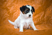 Papillon Puppy — Stockfoto