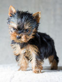 Yorkshire Terrier Puppy — Stock Photo