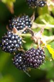 Blackberries bunch — Stock Photo