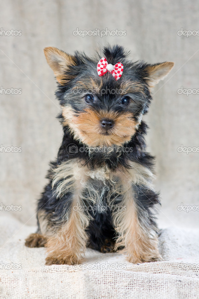 Portrait Small Yorkshire Terrier Puppy — Stock Photo #8545573