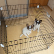 Stock Photo: Two puppies papillon