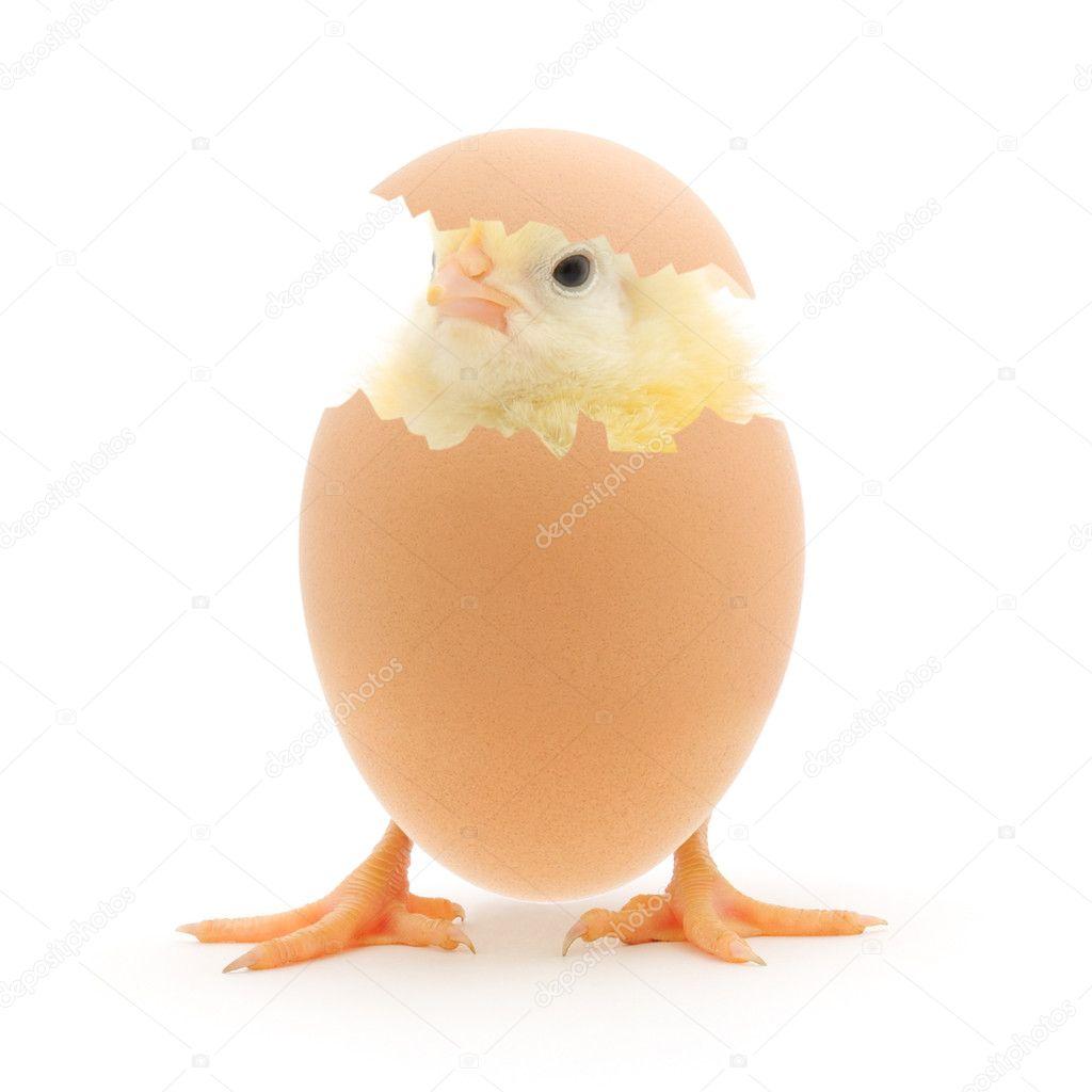 鸡和鸡蛋外壳在白色背景上