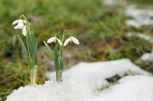 Snowdrop and Snow — Stock Photo