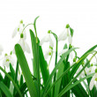 Stock Photo: Snowdrops (Galanthus nivalis) on white background