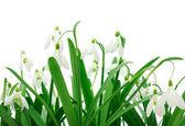 Snowdrops (Galanthus nivalis) on white background — Stok fotoğraf