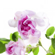 Fresh rose — Stock Photo #10188952